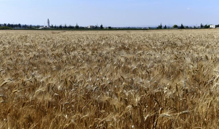 'A return to local or native seeds is one of the conditions needed to reach food sovereignty,' one researcher in agricultural policies said (AFP/FETHI BELAID)