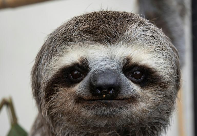 Chuwie was the first sloth that Haydee and Juan Carlos Rodriguez rescued (AFP/Yuri CORTEZ)