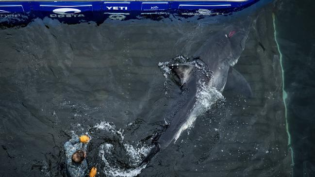 Vimy was later released back in to the ocean (OCEARCH/Robert Snow)