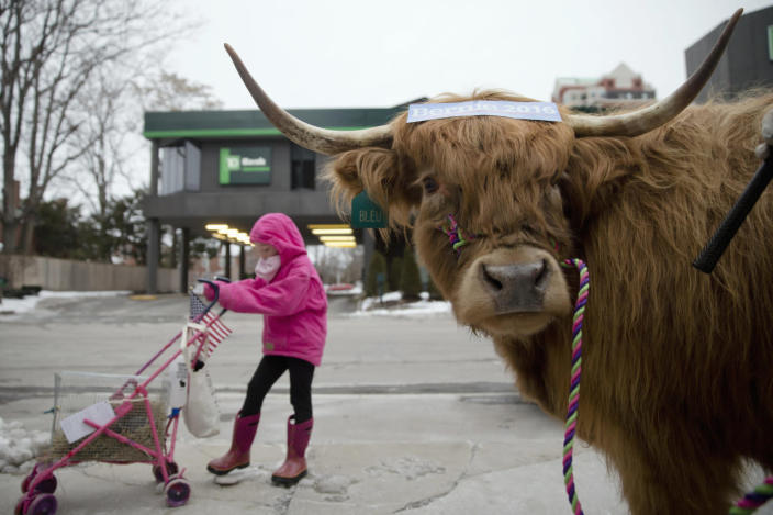 <p>Olivia Nason, 7, poses for photographs with Bleu the steer to promote New Hampshire agriculture and Democratic presidential candidate, Sen. Bernie Sanders on Feb. 8, 2016, in Manchester, N.H. <i>(Photo: Matt Rourke/AP)</i></p>
