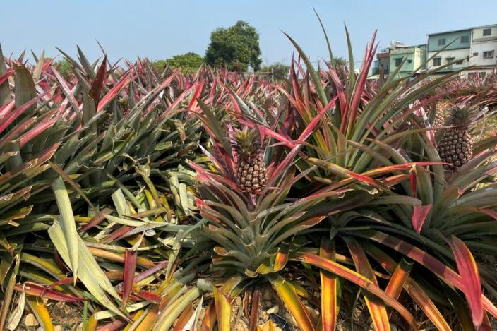 FILE PHOTO: Pineapples grow in a field in Kaohsiung