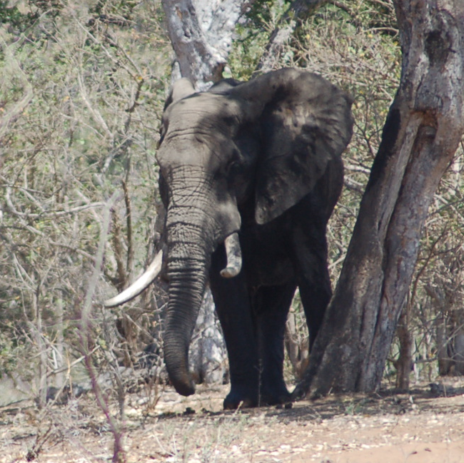 A savannah elephant in Kruger National Park, South Africa, in October 2016.