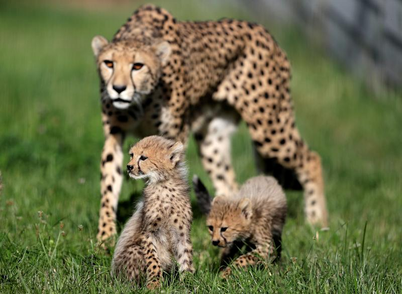Newly-born cheetah cubs and their mother Savannah rest in their enclosure at Prague Zoo, Czech Republic, July 31, 2017. Quintuplets of cheetah cubs were born on May 15, 2017. REUTERS/David W Cerny