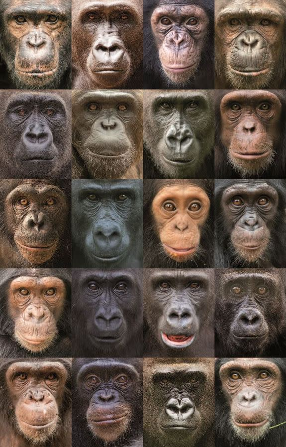 Why Monkeys and Apes Have Colorful Faces