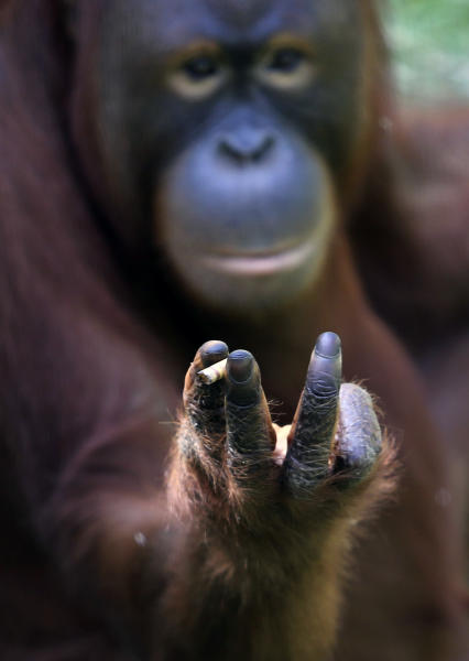 Tori, a 15-year-old orangutan, holds a cigarette stub between her fingers inside her cage at Satwa Taru Jurug zoo in Solo, Central Java, Indonesia, Friday, July 6, 2012. Zookeepers said they plan to move Tori, who learned to smoke about a decade ago by imitating people, away from visitors who regularly throw lit cigarettes into her cage so they can watch and photograph her puffing away and exhaling smoke. (AP Photo)