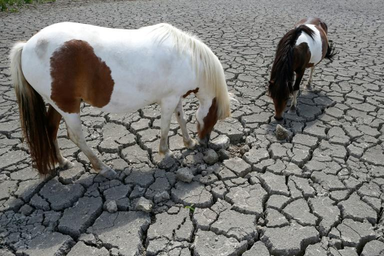 Horses looking for grass to graze in a dry land near Bastelicaccia on the French Mediterranean island of Corsica, on July 27, 2019 (AFP Photo/PASCAL POCHARD-CASABIANCA)