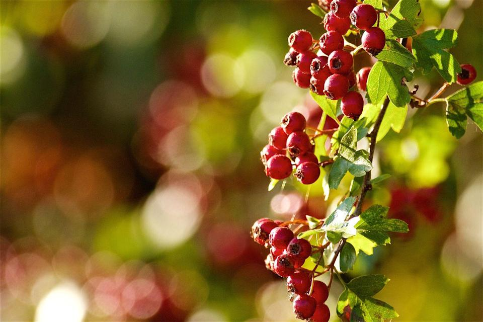 """<p>Loved for its deep-red fruits known as 'haws', the hawthorn tree is a real head-turner. Not only does it produce beautiful white blossom in springtime, but its berries have numerous health effects, especially for your heart.</p><p><a class=""""link rapid-noclick-resp"""" href=""""https://www.thompson-morgan.com/p/hawthorn-hedging/T70270TM"""" rel=""""nofollow noopener"""" target=""""_blank"""" data-ylk=""""slk:BUY NOW VIA THOMPSON & MORGAN"""">BUY NOW VIA THOMPSON & MORGAN</a></p>"""