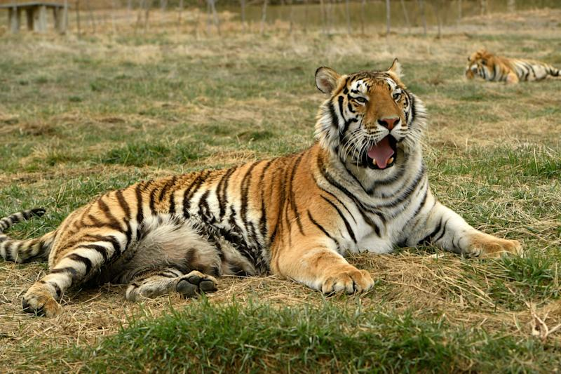 Thirty-nine tigers and three black bears formerly in the possession of Oklahoma zookeeper Joe Exotic now live at The Wild Animal Sanctuary. (Helen H. Richardson/MediaNews Group/The Denver Post via Getty Images via Getty Images)