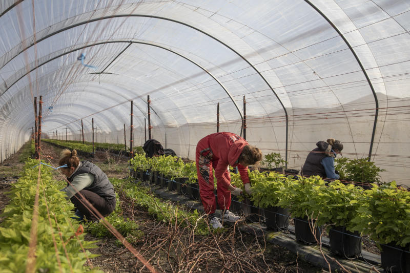 ROCHESTER, KENT - MARCH 31: Seasonal workers tend to raspberries inside a Polytunnel ahead of the fruit picking season at a farm on March 31, 2020 in Rochester, Kent. Concerns over the short supply of seasonal workers are growing with an estimated 90,000 positions needed to be filled. The charity 'Concordia' has warned the government that unless people can be brought in to pick fruit and vegetables, much of that produce will simply rot away. Many of the eastern European countries that usually supply the demand for workers, such as Bulgaria, are currently on lockdown due to the Coronavirus (COVID-19) pandemic, which has spread to many countries across the world, claiming over 30,000 lives and infecting hundreds of thousands more. (Photo by Dan Kitwood/Getty Images)