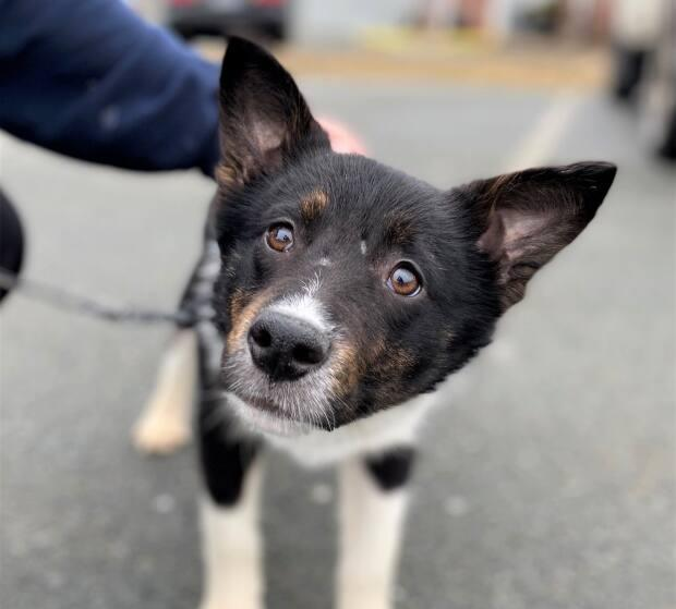 Dyson is one of the 77 mixed-breed dogs surrendered from a property in Cape Breton, says the Nova Scotia SPCA. (Nova Scotia SPCA - image credit)