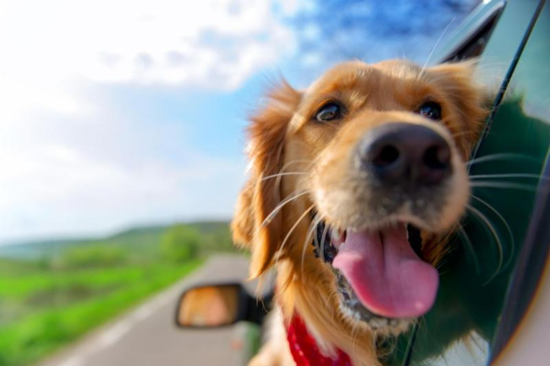 Taking your dog with you is less stress for you both. Photo: Getty