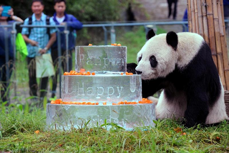 Pan Pan at the China Conservation and Research Centre in Dujiangyan in September 2015