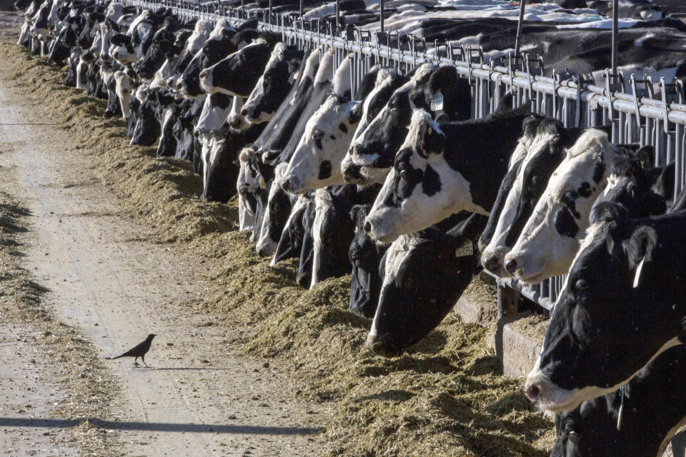 FILE - In this March 31, 2017, file photo, dairy cattle feed at a farm near Vado, N.M. On Friday, Oct. 8, 2021, The Associated Press reported on stories circulating online incorrectly claiming under the proposed infrastructure bill, farmers will be taxed for each cow, including $6,500 a year for dairy cows. (AP Photo/Rodrigo Abd, File)