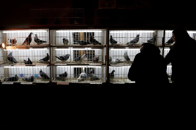 Racing pigeons are displayed for sale at the Pigeon Olympiad 2017 in Brussels, they usually sell for an average of £2,140. (REUTERS)