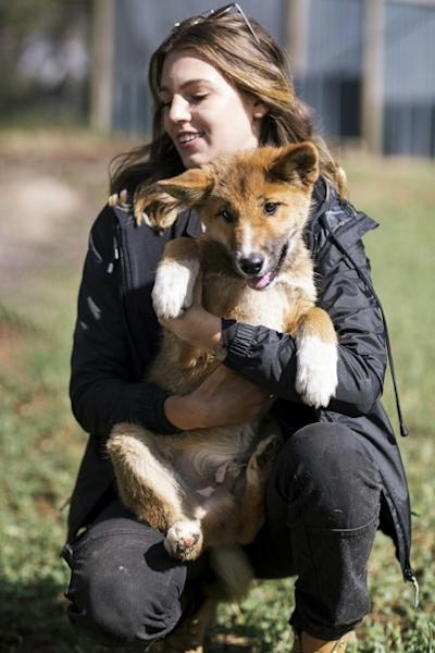 An Australian Dingo Foundation handler shows of Wandi, a rare 100 percent purebred dingo (AFP Photo/Shari TRIMBLE)