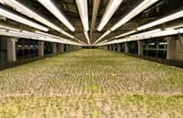Micro greens -- tiny seedlings of plants such as fennel, radish or coriander usually harvested when they are full size -- are already being grown underground