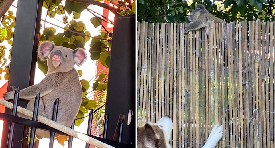 Left - a koala at the top of a spiked fence. Right - A koala up a bamboo fence, trying to escape a dog.
