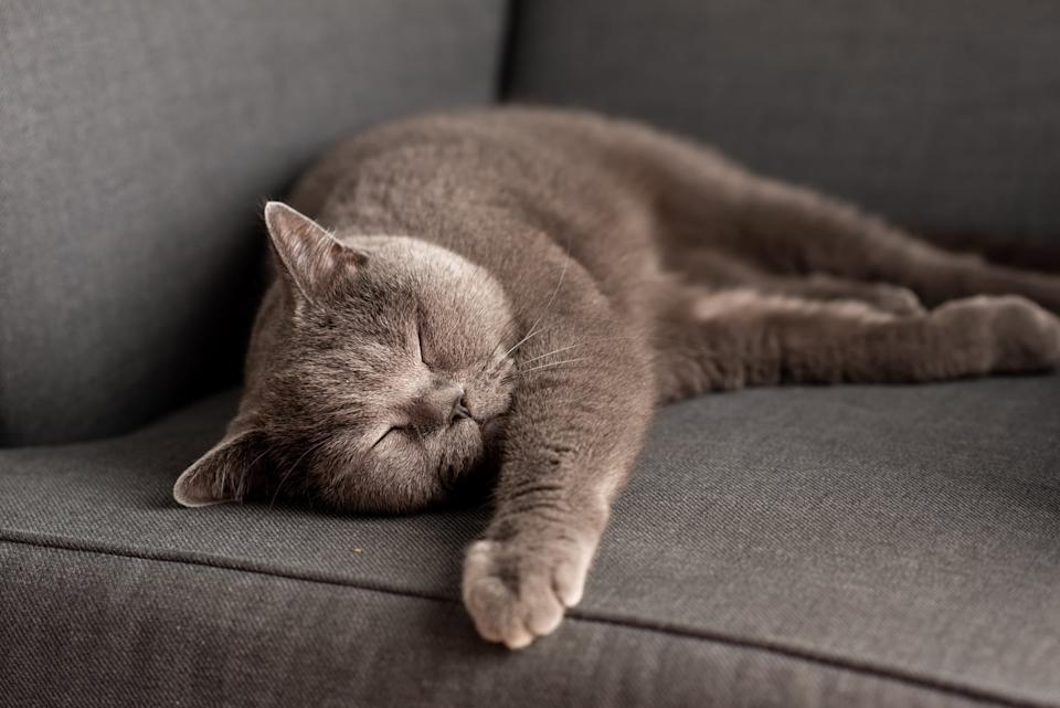British Shorthair cat lying on the gray chair. Copy-space