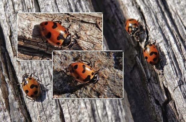 These are lady beetles, not ladybugs. (Submitted by Brian Keating - image credit)