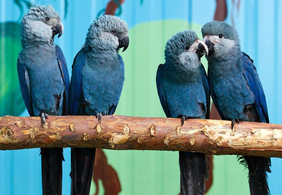<p>Thought to be extinct in the wild, the Spix Macaw currently exists in captivity with their numbers in the dismally low 60-80 range. The bird is also referred to as Little Blue Macaw because they're known for their vibrant blue feathers.</p><p><strong>Cause of Extinction:</strong> the Spix Macaw went extinct in the wild due to habitat destruction, illegal trapping and trade.</p>