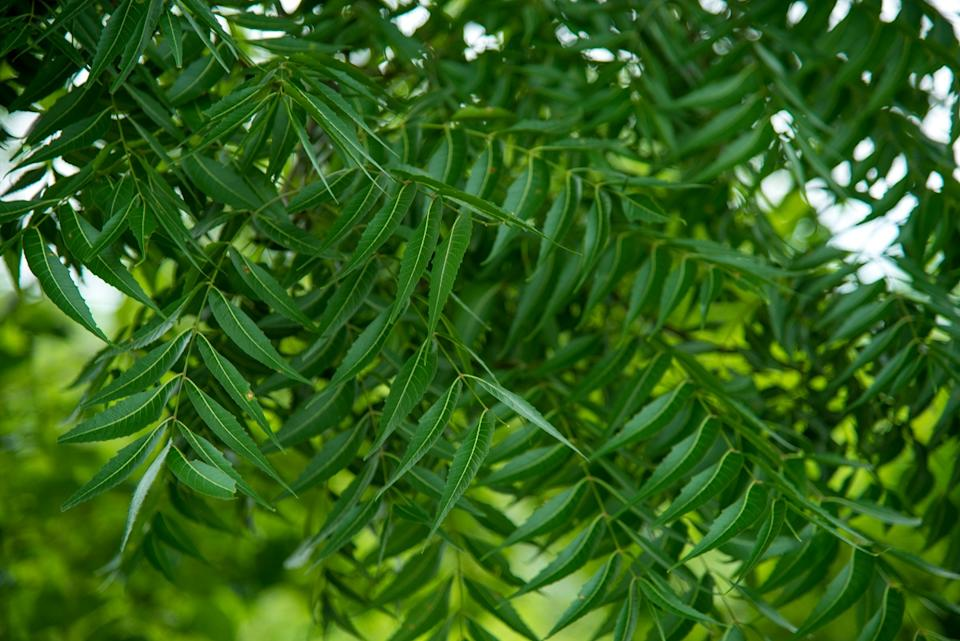 Neem's scientific name Azadirachta Indica has been derived from the Arabic language Azadirach-E-Hind, meaning a free growing tree of India