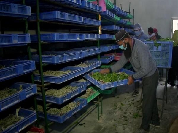 Experts in the Mirgund seed station taking care to increase the production of mulberry fruit crops. (Photo/ANI)
