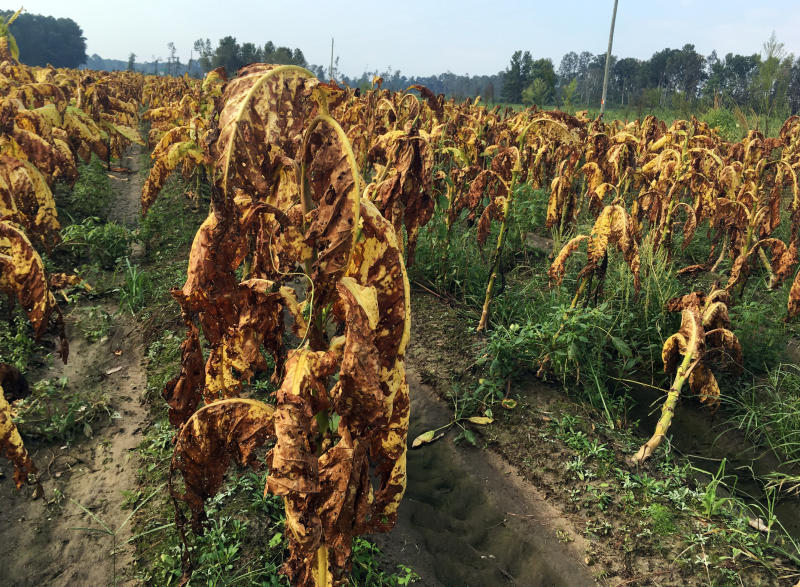 FILE- In this Sept. 20, 2018, file photo, damaged tobacco plants by Hurricane Florence stand unharvested in fields near Fremont, N.C. The federal government is sending $800 million in aid to farmers in four southern states that were most devastated last year by hurricanes Michael and Florence. The $800 million in aid will be distributed as block grants to communities in Alabama, Florida, Georgia and North Carolina. (AP Photo/Emery P. Dalesio, File)