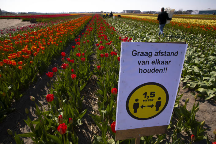 FILE - In this Thursday, March 26, 2021 file photo, a sign asking people to observe social distancing and keep 1.5 meters, or five feet, apart to reduce the spread of the coronavirus was put up in a field of tulips in Lisse, Netherlands. Across the world, authorities are seeking to stave off a new surge of COVID-19 infections to contain a death toll which already exceeds 3 million. Crowds are anathema to health. Yet at the same time, the soothing glories of nature are said to be an ideal balm against the psychological burdens of loneliness, disorientation and fear that the pandemic has wrought. (AP Photo/Peter Dejong, File)