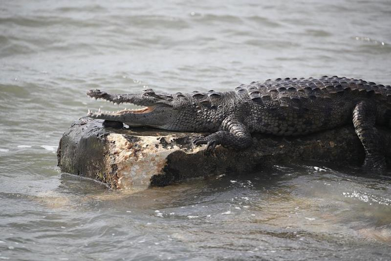 Crocodile eats dog that tormented it for years — GRAPHIC