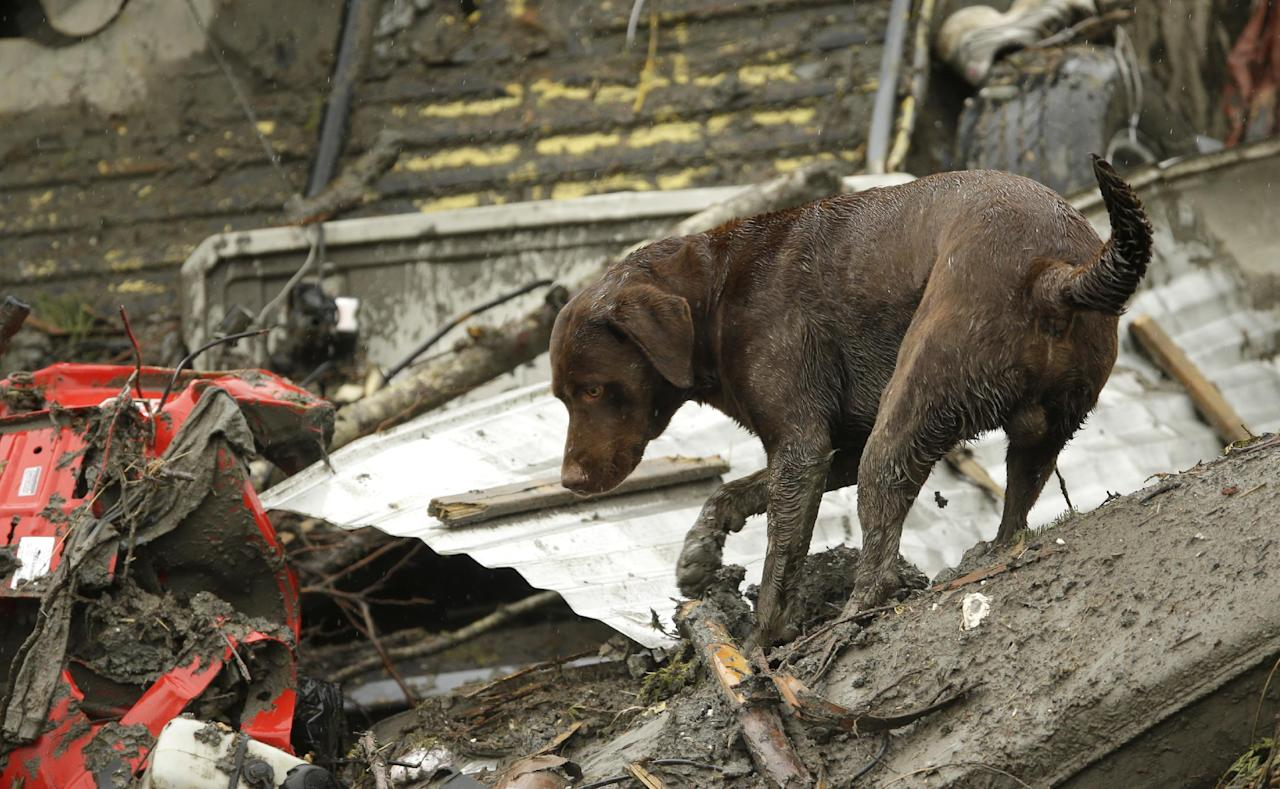 In this Wednesday, April 16, 2014, photo, a search dog works through a pile of debris as the search continues for the remaining missing victims of the massive deadly mudslide that hit the community of Oso, Wash., on March 22, 2014. President Barack Obama plans to visit the area on Tuesday, April 22, to survey the damage and meet with victims, first responders and recovery workers. (AP Photo/Ted S. Warren)