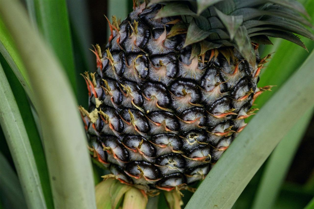 "<p>The name ""pineapple"" came from Europeans who thought the fruit looked like a pinecone with pulp like an apple. Pineapples are actually berries, just like strawberries and blueberries. To ripen a pineapple quickly, stand it upside down on its leaves.</p>"