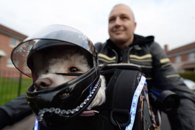 Milly the Bichon Frise is a real petrolhead pet - riding on her owner's motorbike dressed in full leathers and goggles.