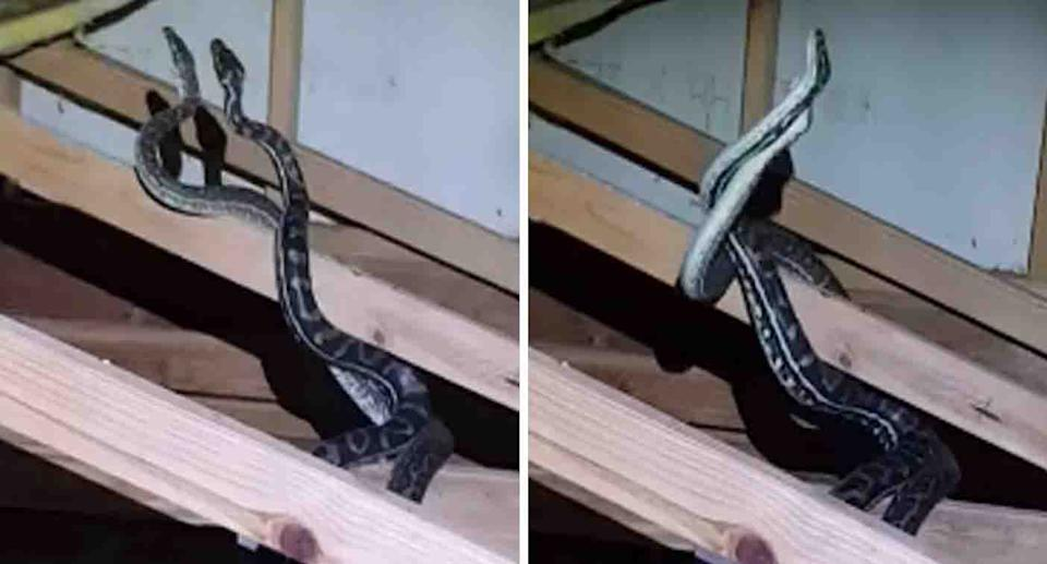 Two male snakes are seen fighting in the roof space of a Queensland home, presumably over a nearby female. Source: Sunshine Coast Snake Catchers 24/7 / Facebook