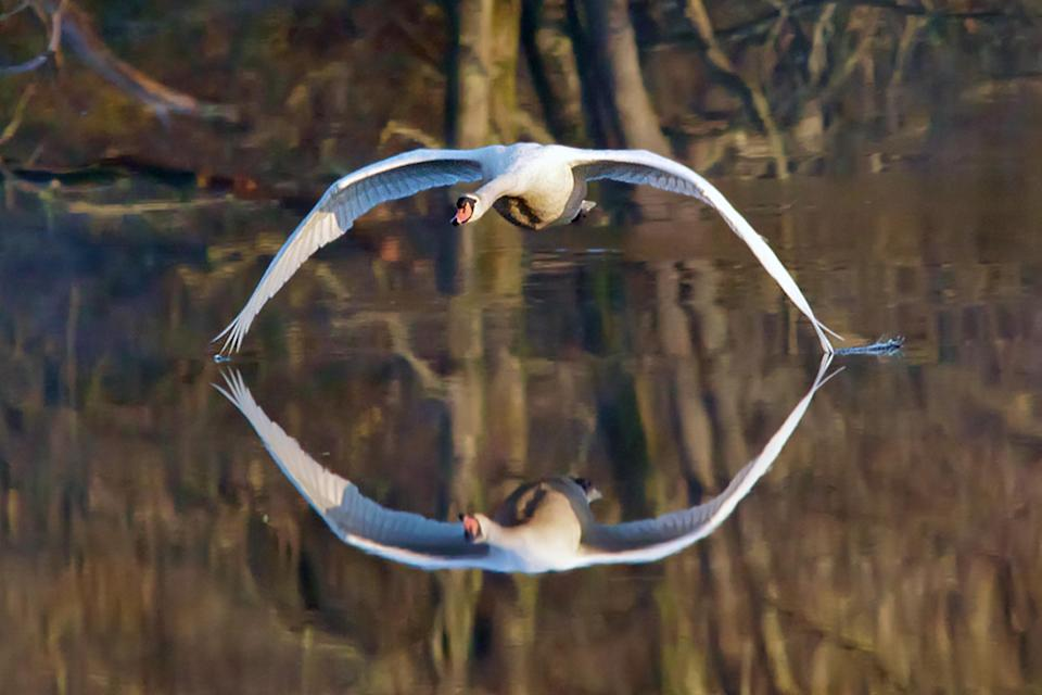 <p>With its wings spread, mid-flight across the Glaslyn River in North Wales, the elegance of the swan is captured perfectly as it aligns with its reflection in perfect symmetry. (Photo: Tony Pope/Caters News) </p>