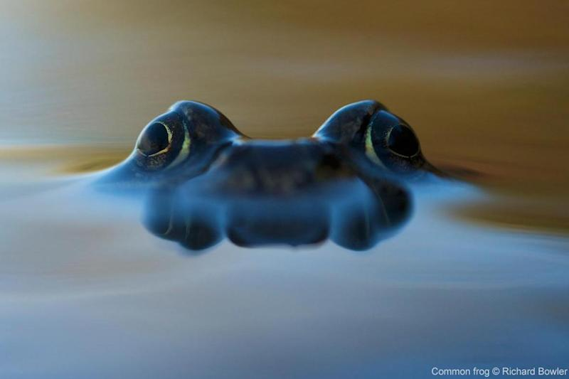 The common frog often breeds in garden ponds, lakes and even puddles