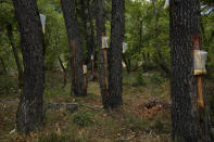 Bags on the pine trees with resin in a forest on the island of Evia, about 185 kilometers (115 miles) north of Athens, Greece, Thursday, Aug. 12, 2021. Residents in the north of the Greek island of Evia have made their living from the dense pine forests surrounding their villages for generations. Tapping the pine trees for their resin has been a key source of income for hundreds of families. But hardly any forests are left after one of Greece's most destructive single wildfires in decades rampaged across northern Evia for days. (AP Photo/Petros Karadjias)