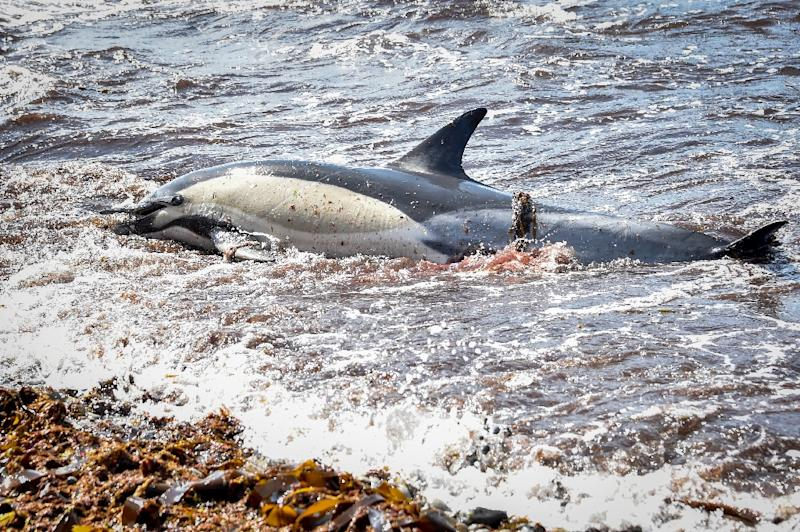 Each year since 2017, a record number of dead dolphins have washed up on France's Atlantic coast between January and April, the Pelagis observatory says