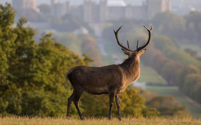Alamy Live News. 2CMGPT5 Windsor, UK. 17th September, 2020. A red deer stag is pictured in front of Windsor Castle at sunrise. The deer park enclosure in Windsor Great Park is home to a herd of around 500 red deer descended from forty hinds and two stags introduced by the Duke of Edinburgh in 1979. Credit: Mark Kerrison/Alamy Live News This is an Alamy Live News image and may not be part of your current Alamy deal . If you are unsure, please contact our sales team to check. - Alamy
