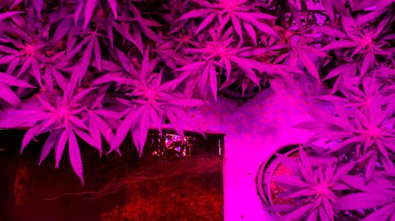 Cannabis roots float underwater in an aquaponics grow operation