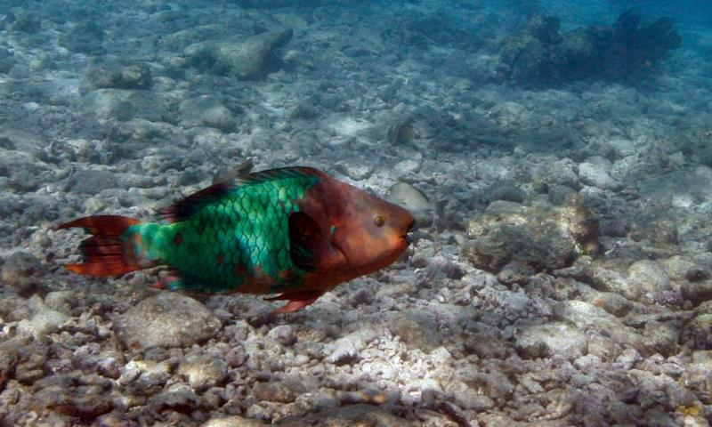 A parrotfish swims over a dead coral reef in the Florida Keys 'We have one reef, and we have to do one small thing to protect that,' said Key West mayor Teri Johnston.