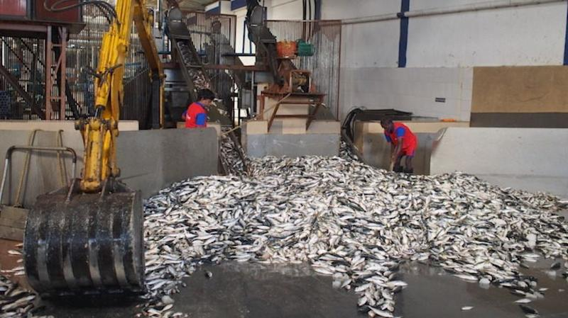 Sardines and by-catch are sent to fishmeal plants, like this one in the southern Indian state of Karnataka.