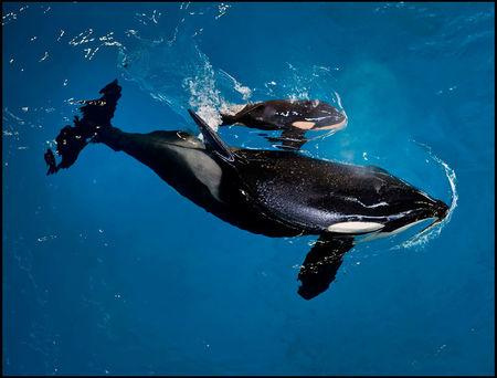 SeaWorld San Antonio's orca Takara swims with her new calf - the last to be born at a SeaWorld park - in San Antonio, Texas, United States in this handout photo