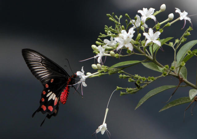 <p>A butterfly collects nectar from a Jasmine flower in Karachi, Pakistan on July 19, 2012. (AP Photo/Shakil Adil) </p>
