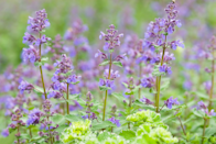 """<p>Catnip is known for its ability to give your feline friends a mellow buzz, but the herb also has some bug repellent properties. One <a href=""""https://pubmed.ncbi.nlm.nih.gov/19712151/"""" rel=""""nofollow noopener"""" target=""""_blank"""" data-ylk=""""slk:study"""" class=""""link rapid-noclick-resp"""">study</a> found the essential oil from catnip can help deter houseflies and mosquitoes. Another <a href=""""https://lib.dr.iastate.edu/cgi/viewcontent.cgi?article=1349&context=ent_pubs"""" rel=""""nofollow noopener"""" target=""""_blank"""" data-ylk=""""slk:study"""" class=""""link rapid-noclick-resp"""">study</a> from Iowa State University also found catnip oil to be a more effective """"spatial repellent"""" than DEET, the most popular ingredient in <a href=""""https://www.prevention.com/health/g32403398/best-insect-repellents/"""" rel=""""nofollow noopener"""" target=""""_blank"""" data-ylk=""""slk:insect repellents"""" class=""""link rapid-noclick-resp"""">insect repellents</a>. Same caveat, though: Catnip oil isn't the same as actual catnip plants, but the results are promising enough to warrant adding a few to your yard if you don't have cats to worry about.</p>"""