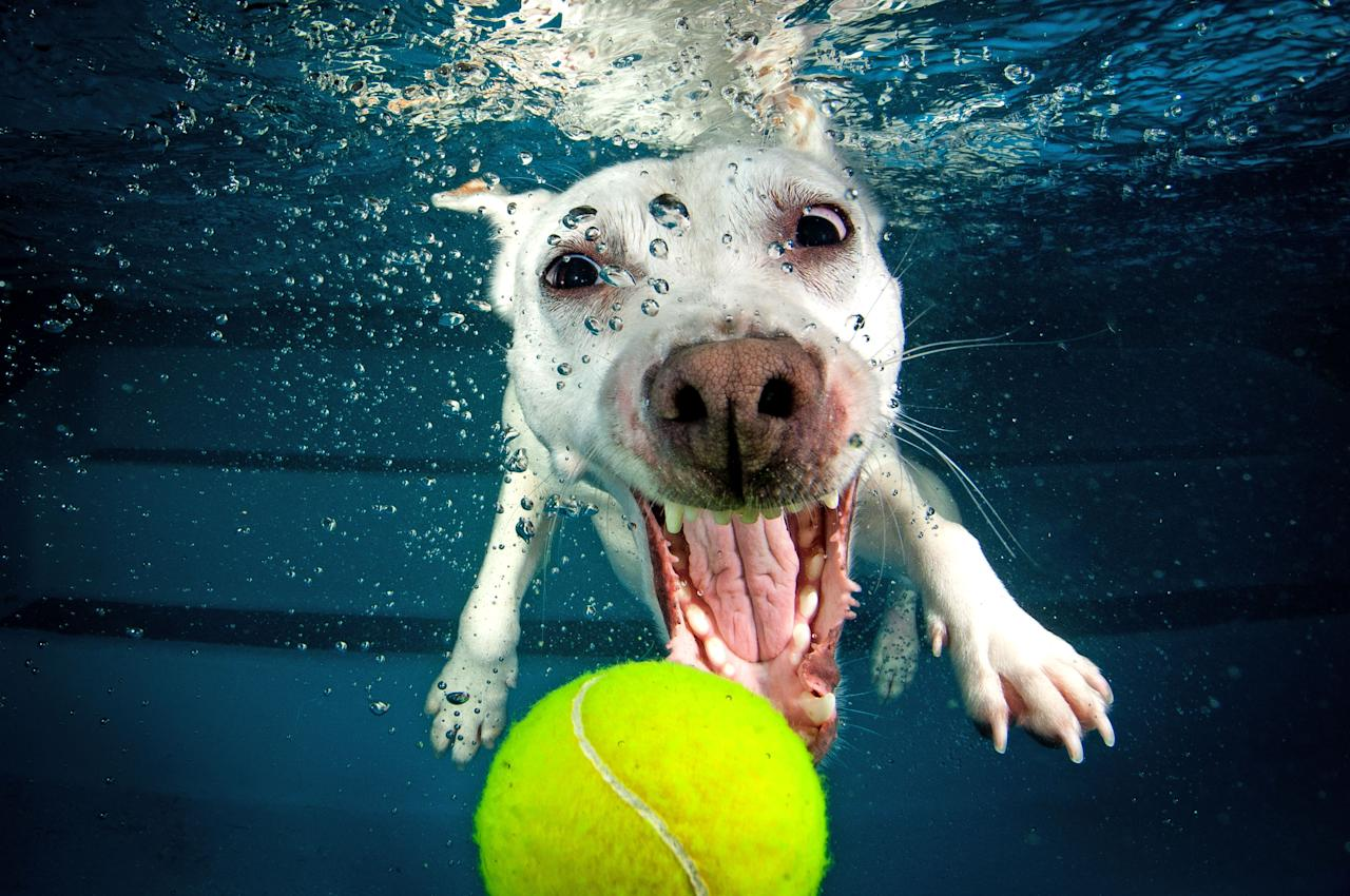 <p>A Jack Russell terrier-whippet cross swims for the tennis ball just out of reach. (Photo: Jonny Simpson-Lee/Caters News) </p>