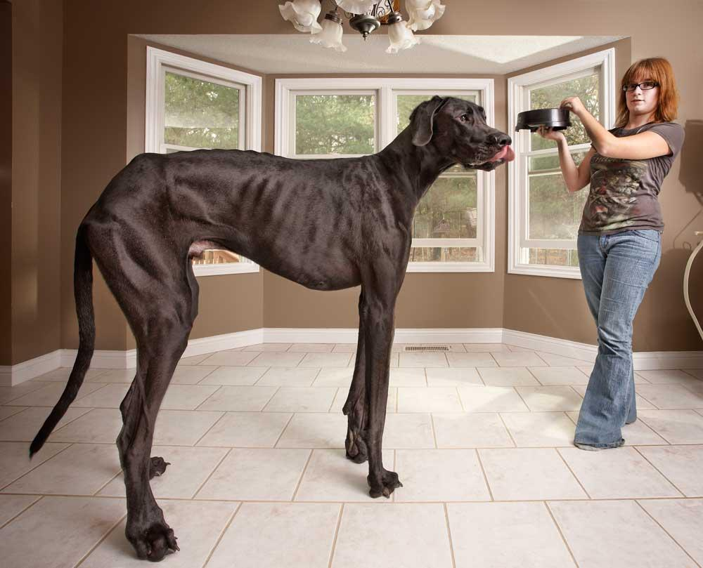 A 3 year-old Great Dane called Zeus from Michigan, USA, is featured in the new Guinness World Records 2013 book, as the tallest dog ever, measuring 111.8 cm (44 in) from foot to withers