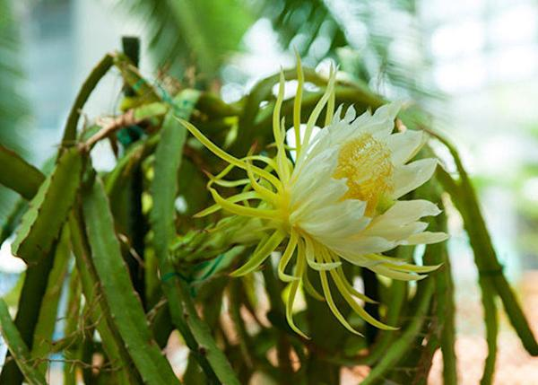▲Night blooming cacti such as the Dragon Fruit and the Queen of the Night have been adjusted to bloom during the day by reversing their night and day. It is especially recommended to view in the morning when it is blooming most energetically. (The flowers' status is posted on the homepage).