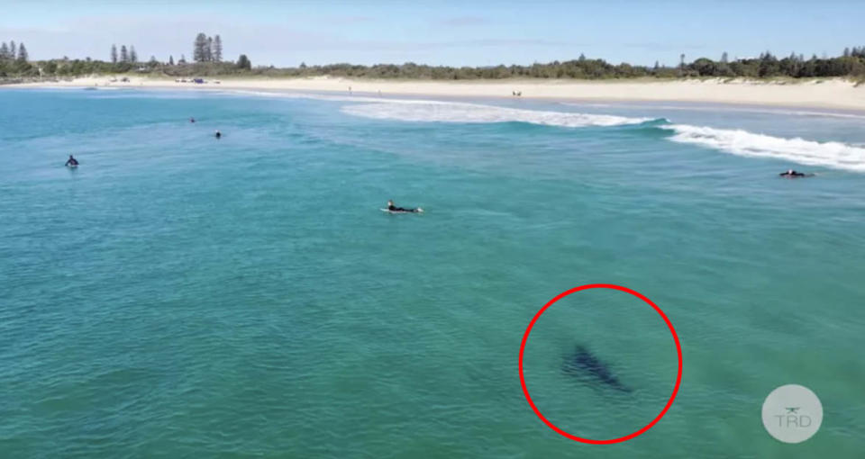 A 2019 still from a video shared by The Rogue Droner shows a great white shark approaching surfers at Tuncurry Beach. Source: YouTube/ The Rogue Droner