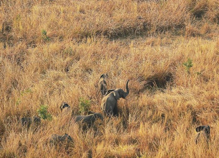 Elephants stand in tall grass in the Garamba National Park in north-eastern Democratic Republic of Congo, on February 7, 2016 (AFP Photo/Tony Karumba)