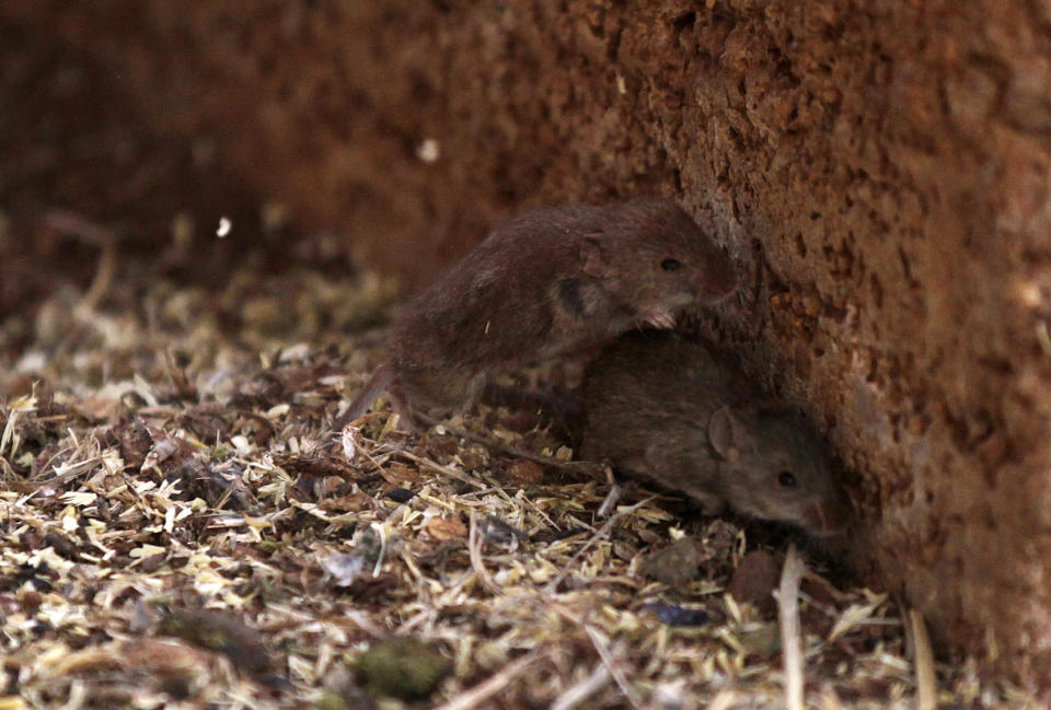 Mice run away from a silo in a farm near Parkes, 221 miles (357 km) west Sydney July 7, 2011. Australia's grain regions face an increasing threat from plagues of mice, a rodent expert said, warning against new plagues in the spring, while a New South Wales farmer feared that about 30 percent of his wheat crop may have been lost.    REUTERS/Daniel Munoz (AUSTRALIA - Tags: ENVIRONMENT BUSINESS AGRICULTURE ANIMALS)